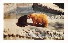 ber002076 - American Black & Cinnamon Bears San Diego Zoo Postcard Post Card