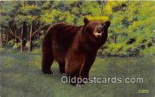 ber002100 - Native Black Bear Central Adirondack Mountains, NY Postcard Post Card