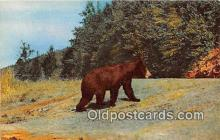 ber002104 - Black Bears Clare, Michigan Postcard Post Card