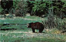 ber002111 - Black Bear Adirondack Mountains, NY Postcard Post Card