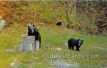 ber002119 - Black Bears Having Lunch  Postcard Post Card
