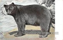 ber002123 - Montana Black Bear, Jack Norumbega Park, Mass Postcard Post Card