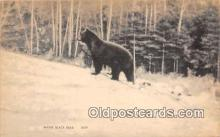 ber002125 - Maine Black Bear Maine Postcard Post Card