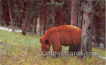 ber002130 - Cinnamon Bear Rocky Mountain Postcard Post Card