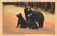 ber002161 - Black Bears Yellowstone National Park Postcard Post Card