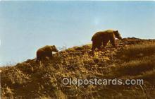ber002171 - Toklat Grizzly Alaska Range Postcard Post Card