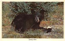 ber002177 - Young Bear  Postcard Post Card