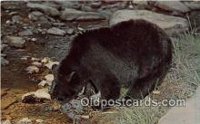 ber002178 - Black Bear  Postcard Post Card