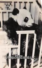 ber002206 - Giant Panda Chicago Zoological Park, Brookfield, Ill Postcard Post Card