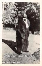 ber002211 - Bear Yosemite National Park Postcard Post Card
