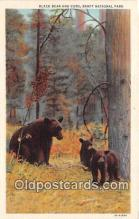 ber002216 - Black Bear & Cubs Banff National Park Postcard Post Card