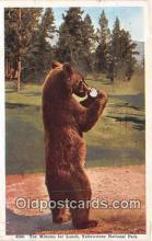 ber002232 - Ten Minutes for Lunch Yellowstone National Park, USA Postcard Post Card