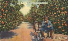 Orange groves in Florida, USA