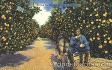 bla001354 - Orange groves in Florida, USA Black, Blacks Postcard Post Card