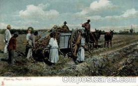 bla001541 - Planting Sugar Cane Black, Blacks Post Card Post Card