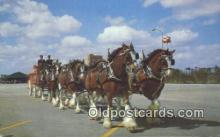 bre001201 - Budweiser Clydesdale 8 Horse Team Tampa, FL, USA Postcard Post Cards Old Vintage Antique