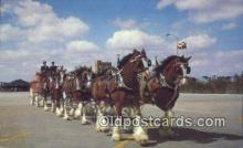bre001227 - Budweiser Clydesdale 8 Horse Team Tampa, Florida, USA Postcard Post Cards Old Vintage Antique