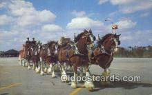 bre001262 - Budweiser Clydesdale 8 Horse Team Tampa, Florida, USA Postcard Post Cards Old Vintage Antique