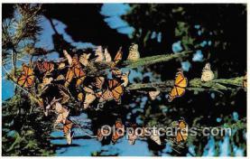 but000009 - Monarch Butterflies Pacific Grove, California Postcard Post Card
