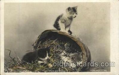 cat001600 - Cat Cats, Post Card, Post Card