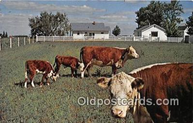 Herefords Grazing
