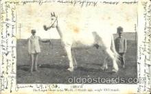 cir006059 - Hiram - The Largest Horse in the World, 21 Hands High, Weight 3065 pounds postcard Post Card