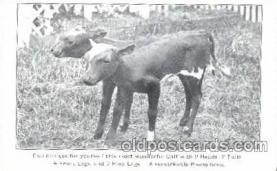 2 head Calf