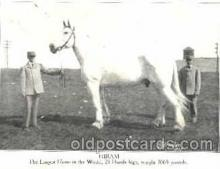 cir006075 - Hiram - The Largest Horse in the World, 21 Hands High, Weight 3065 pounds postcard Post Card