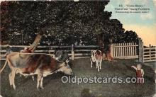 cow000009 - Come Bossy  Postcard Post Card
