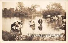 cow000011 - Real Photo - Muskoka River Ontario Canada Postcard Post Card