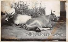 cow000025 - Indian Cow  Postcard Post Card