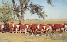 cow000044 - White Faced Herefords Herefordshire, England Postcard Post Card