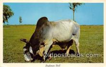 cow000045 - Brahman Bull Florida, USA Postcard Post Card