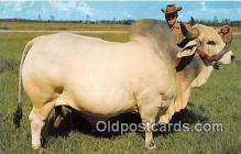 cow000046 - Grand Champion Brahman Bull Emperor Manson, Central Florida, USA Postcard Post Card