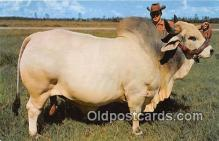 cow000089 - Grand Champion Brahman Bull Emperor Manson, Central Florida, USA Postcard Post Card