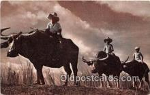 cow000107 - Philippines Native Carabaos American President Lines Postcard Post Card