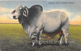 cow000123 - Brahman Bull Florida Pastures, USA Postcard Post Card