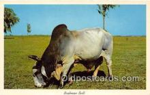 cow000132 - Brahman Bull Florida Pastures, USA Postcard Post Card