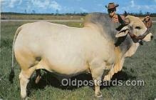 cow000133 - Grand Champion Brahman Bull Emperor Manson, Central Florida, USA Postcard Post Card