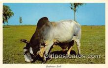 cow000134 - Brahman Bull Florida Pastures, USA Postcard Post Card
