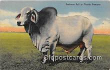 cow000136 - Brahman Bull Florida Pastures, USA Postcard Post Card