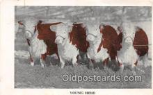 cow000154 - Young Herd Bartlett's Hereford Sale, May 5, 1919 Postcard Post Card