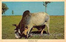 cow000170 - Brahman Bull Florida Pastures, USA Postcard Post Card