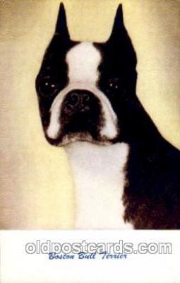 Boston Bull Terrier