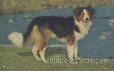 dog100391 - Tricolour Welsh Collie, Dog, Dogs Postcard Post Card