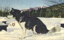 dog100469 - Eskimo Sled Dog Dog, Dogs Postcard Post Card