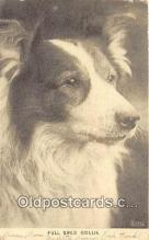 dog100737 - Full Bred Collie  Postcard Post Card