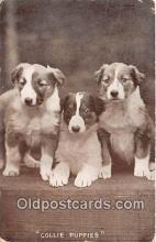 dog100738 - Collie Puppies  Postcard Post Card