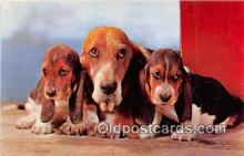 dog200036 - Basset Hounds Alfred Mainzer, Inc Postcard Post Card