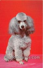 dog200259 - French Poodle Color by Scenic Art, Berkely, CA, USA Postcard Post Card